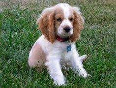 English Springer Spaniel. looks like my first puppy, Taffy