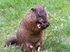 Home Remedies to Get Rid of Groundhogs Naturally - How to get rid of groundhogs? Best ways to control groundhogs. Eliminate groundhogs in garden. Prevent groundhogs in yard. Get rid of woodchucks. Groundhog Repellant, Get Rid Of Groundhogs, Get Rid Of Pigeons, Getting Rid Of Rats, Ground Squirrel, End Of Winter, Long Winter, Pest Management, Groundhog Day