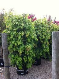 weeping lilly pilly - waterhousia floribunda for boundary planting in back garden Garden On A Hill, Side Garden, Garden Beds, Garden Plants, High Country Gardens, Back Gardens, Landscape Design, Garden Design, Weeping Trees