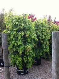 weeping lilly pilly - waterhousia floribunda