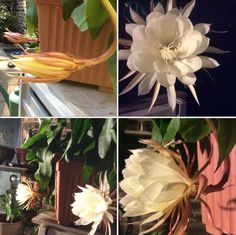 Lady of the night  flowers,bloom at night for 4-6 hours only.