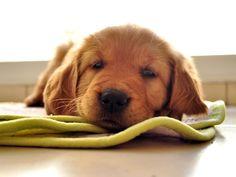 Cachorros: convívio renderia menos infecções respiratórias em bebês