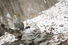 Дальневосточный леопард - Дикая природа России. Фото Валерий Малеев