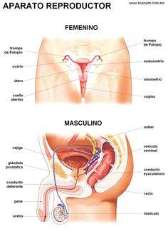 Esquemas de los aparatos reproductores femenino y masculino en color, con nombres de sus partes.