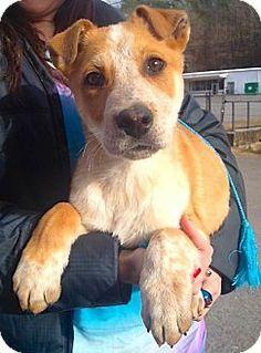 Chattanooga, TN - Australian Cattle Dog Mix. Meet Randal a Puppy for Adoption.
