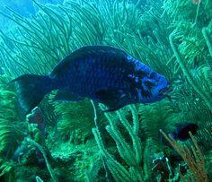 Blue parrotfish (Roatan, Honduras)