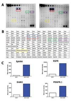 tebu-bio - Human Phospho-RTK Array for phosphorylation strudies