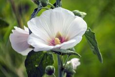 5 Ways To Use Hollyhock In Your Materia Medica