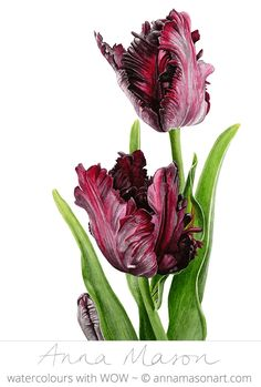 Black Parrot Tulips © 2013 ~ annamasonart.com