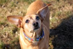 Patty Cake is an adoptable Chihuahua Dog in Methuen, MA. Hi there! My name is Patty Cake and I am a chihuahua/corgi mix who is here at Nevins awaiting a special someone to take me home. Someone left m...