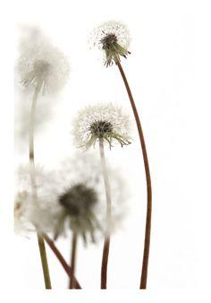 dandelions (mary jo hoffman)