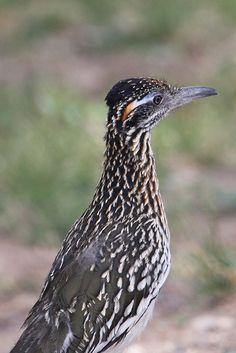 roadrunner by Doryce, via Flickr Road Runner Bird, Greater Roadrunner, Exotic Birds, Birds Of Prey, Wild Birds, Natural World, Runners, Texas, Lost