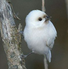 Albino Chickadee, Cute bird!