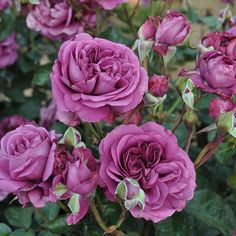 Plum Perfect Rose Bush Reblooming Sunbelt Rose - Double Fragrant Purple Flowers - Heat Resistant Own Root Grown Organic Potted - Stargazer Perennials Floribunda Roses, Shrub Roses, Rose Foto, Heirloom Roses, Planting Roses, Roses Garden, Blooming Rose, Grow Organic, Rose Bush