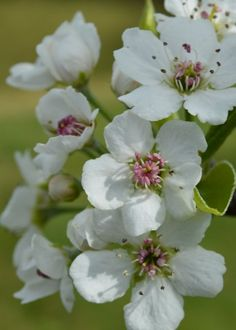 Bradford pear blossoms I photographed today.