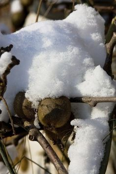 The hardy kiwi is much more resilient in cold temps but, even so, may need special kiwi winter care. How do you go about winterizing hardy kiwi and does hardy kiwi require overwintering? Read this article to learn more. Fruit Plants, Fruit Garden, Edible Garden, Fruit Trees, Hardy Kiwi, Kiwi Vine, Vegetable Garden Tips, Garden Crafts, Garden Ideas