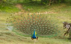 Indian Peafowl (Pavo cristatus) Peacock Dance