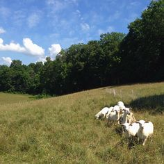 Knee deep in the good stuff. #vermont #vt #grassfed #sheep #sustainablefarming #csa