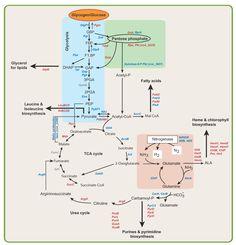 metabolic pathways summary - Google Search