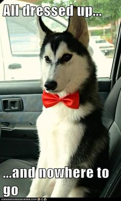 All dressed up...and nowhere to go! #Husky #dog