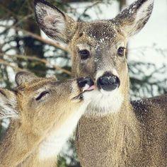Stealing a kiss. (Photo via Instagram: newyorkoutside) Woodland Creatures, Cute Creatures, Beautiful Creatures, Animals Beautiful, Animals And Pets, Baby Animals, Cute Animals, Pretty Pictures, Animal Kingdom