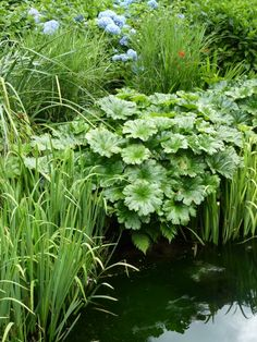 Strong autumn colour, turning pink leaves, likes moisture and grows in sun or shade, division propagtion of the rhizomes in spring or by seed in autumn. Bog Garden, Lake Garden, Pond Plants, Garden Plants, Outside Decorations, Gardening Magazines, Pond Design, Pool Houses, Water Features