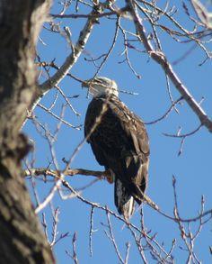 Eagle - Canton Lake Oklahoma