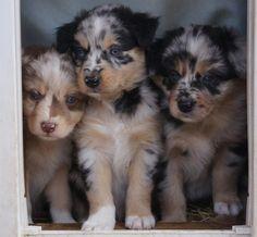 Gorgeous Australian Shepherd Pups