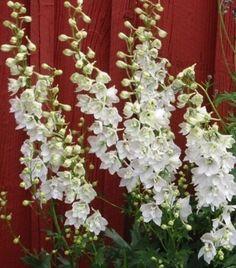 "Delphinium ""Casa Blanca"" White seeds - Very Showy Delphinium, Garden Beds, Seeds, Plants, Ebay, Delphiniums, Garden Bed, Planters, Plant"