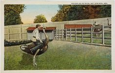 Riding an Ostrich Bird Hot Springs AR Arkansas Vintage Postcard | eBay