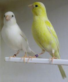 Canary Tales