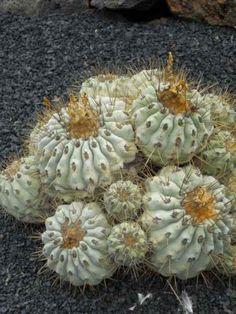 foto de cactus de Chile copiapoa cinerea purpurea