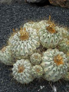 foto de cactus de Chile copiapoa cinerea purpurea