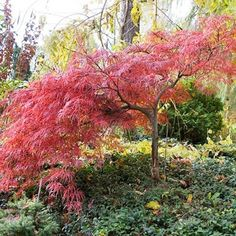Magnificent -- the cascading cutleaf Japanese maple glows. The tree matures at 10 ' so it won't overpower the vinca groundcover or dwarf evergreens growing nearby. ;)