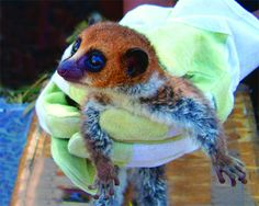population of newly discovered lemur in madagascar down to last 50 individuals photo researchers