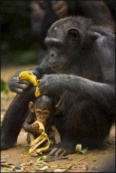 Toma chango tu banana