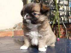 Average weight: 6 lbs Maximum weight: 8 lbs The Chin-wa is a mix between the purebred Chihuahua and Japanese Chin. They're not known to be good around children, but they're still loving, playful, and would be a great choice for anyone looking for a small pup that doesn't shed much.