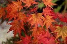 Thanksgiving Playlist: Classical Music for Holiday Meals - Classical MPR Playlist Thanksgiving Traditions, Thanksgiving Crafts, Holiday Recipes, Holiday Meals, Acer Palmatum, Seasons Of Life, Japanese Maple, Foliage Plants, Fall Weather