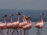 3 Nights 4 Days Masai Mara and Lake Nakuru Safari