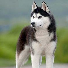 самая красивая порода собак