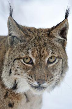 Lynx Snow Portrait by Josef Gelernter, via 500px