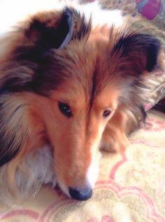 Della's sweet sheltie face !