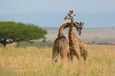 Giraffe fight by vjose #animals #animal #pet #pets #animales #animallovers #photooftheday #amazing #picoftheday