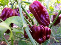 Pepper 'Congo Black'