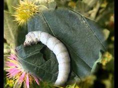 Bertin el gusanito de seda; explica todo sobre el ciclo vital de los gusanos de seda, con dibujos, videos, y juegos! Ir a: http://www.duendecrispin.com/gusanito-de-seda/index.html
