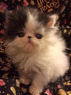 50 Best Persian Kittens - OpalReys AZ images in 2019