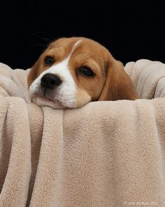 Is there anything cuter than a Beagle puppy?