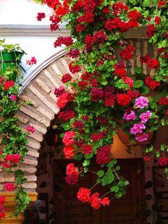 ivy geranium.