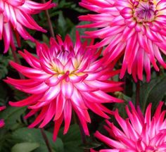 Dahlias ~ Shrewsbury flower show