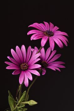 Purple Daisy | Charles Boco | Flickr